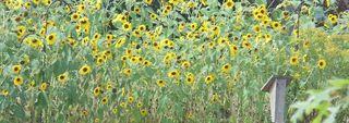 Sam's Sunflowers